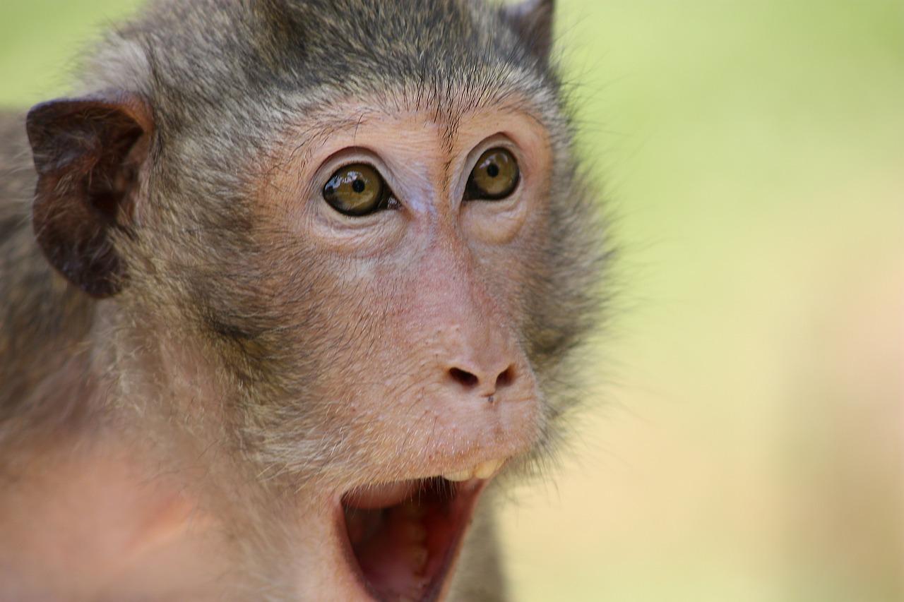the-monkey-409407_1280